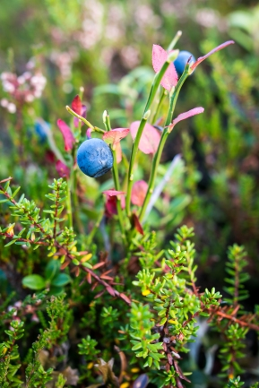 Höga Kustens saftige blåbær. Photo by Michael Sperling.