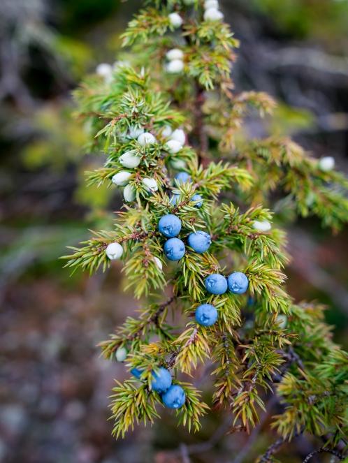 Höga Kustens flotte enebær. Photo by Michael Sperling.