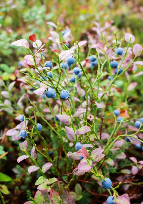 Blåbær i skovbunden. Photo by Michael Sperling.