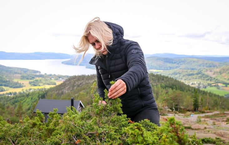 Lina Oscarsson plukker enebær på toppen af Skuleberget. Photo by Michael Sperling.