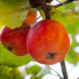 Ni gode æbleginner til dit barskab