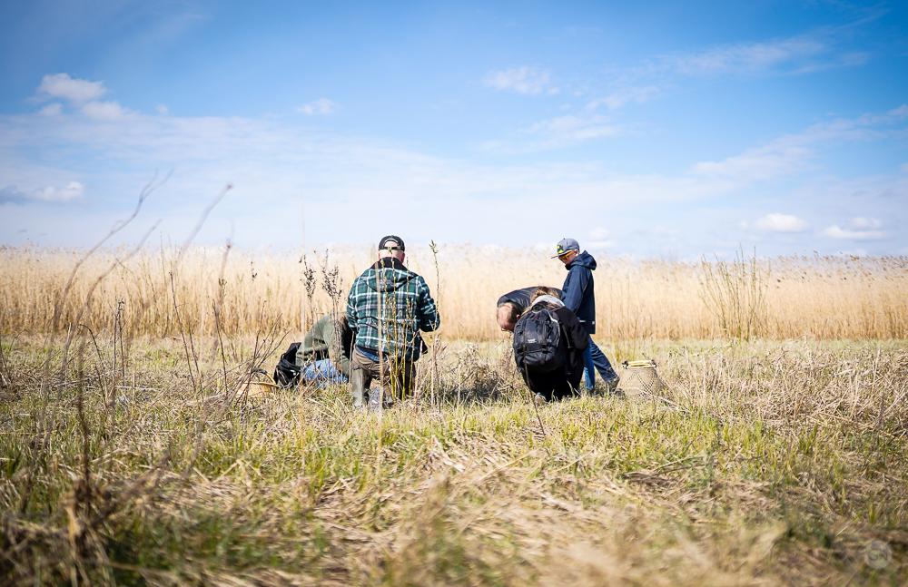 Plukkeholdet leder efter vandmynte. Photo by Michael Sperling.